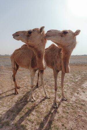 Two camels stand in the desert under the rays of the sun in Dubai Stock Photo