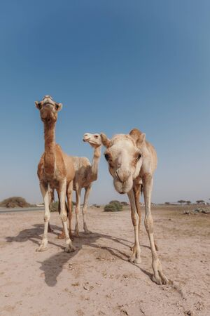 Three camels stand in the desert under the rays of the sun in Dubai Banque d'images - 129316583
