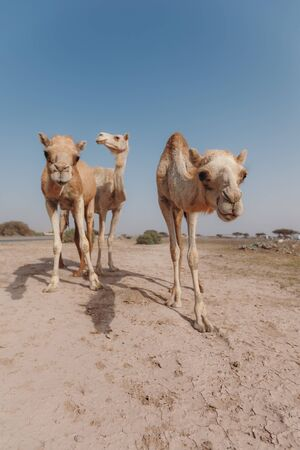 Three camels stand in the desert under the rays of the sun in Dubai Banque d'images - 129316585