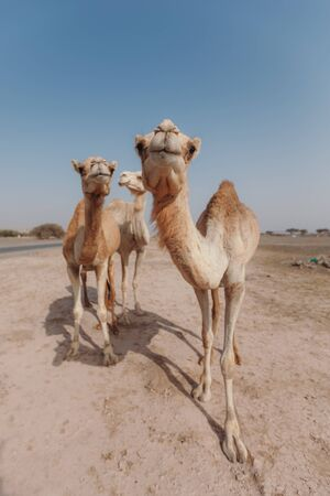 Three camels stand in the desert under the rays of the sun in Dubai Banque d'images - 129316770