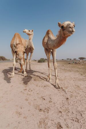 Three camels stand in the desert under the rays of the sun in Dubai Banque d'images - 129316774