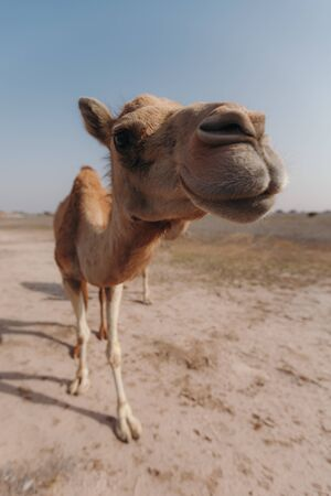 Camel stands in the desert under the rays of the sun in Dubai Banque d'images - 129316775