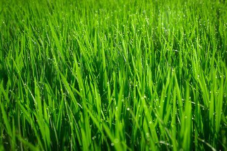 Grüne saftige Grasnahaufnahme. Hintergrund des grünen jungen Grases. Hintergrund des grünen Grases. Jung wachsender Reis Standard-Bild
