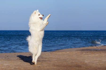 witte hond Samoyed dansen op het strand bij de zee Stockfoto