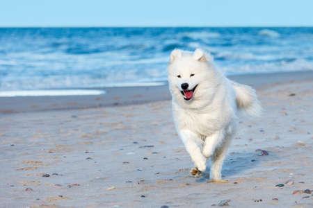 witte Samojeed hond loopt langs het strand in de buurt van de zee