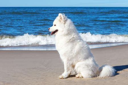 White dog Samoyed sitting on the sand on the sea background Stock Photo