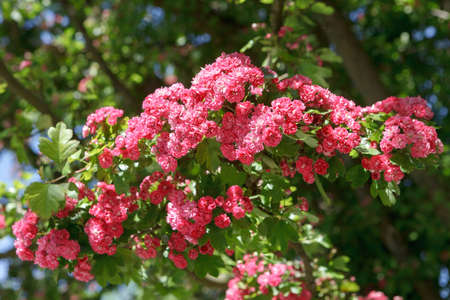 Closeup of a branch of a flowering red Terry hawthorn. Soft focus, selective focus