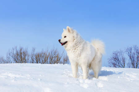 White dog Samoyed standing in the snow in winter on background of blue sky
