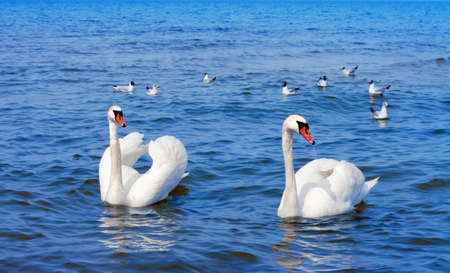 Two white swans floating on the blue sea Stockfoto