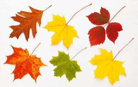 Pattern of six bright, autumn leaves on white wooden background.