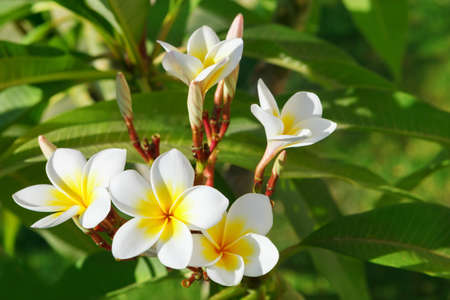 Beautiful, white flowers of Plumeria (Latin name - Plumeria) in natural conditions. Soft focus, selective focus