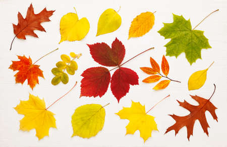 Pattern of many bright, autumn leaves on white wooden background. Autumn mood concept