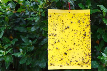 Trampa de insectos pegajosa amarilla colgando del árbol Foto de archivo