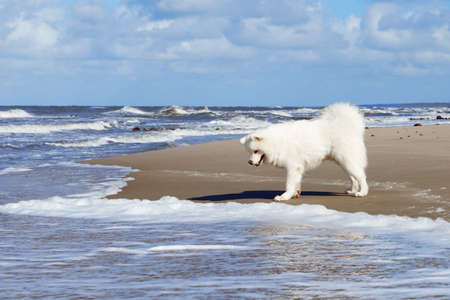 White fluffy Samoyed dog walks along the beach on the background of the stormy sea