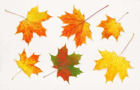 Pattern of six bright, autumn maple leaves on white wooden background.