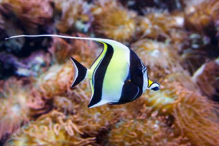 Moorish idol fish, latin name Zanclus cornutus. close up