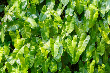 Pattern of tropical, palm leaves illuminated by the bright sun. Rainforest or jungle background