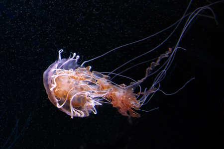 Lions Mane Jellyfish Cyanea capillata sobre fondo negro, enfoque suave Foto de archivo