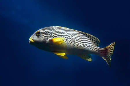 Oriental Sweetlip fish (Plectorhinchus vittatus) swimming against the dark water of the Indian Ocean. Close up, Soft focus, selective focus