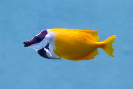 Foxface Rabbitfish (Latin name Siganus Vulpinus) tropical fish. soft focus