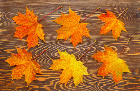 Pattern of six bright, autumn maple leaves on wooden background.