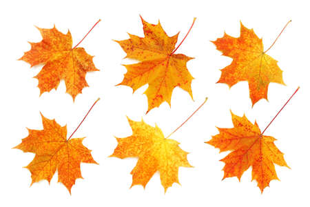 Pattern of six bright, autumn maple leaves isolated on white background. Archivio Fotografico