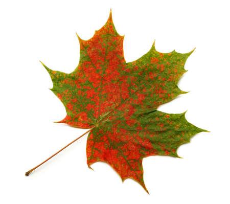 Bright, autumn maple leaf isolated on white background
