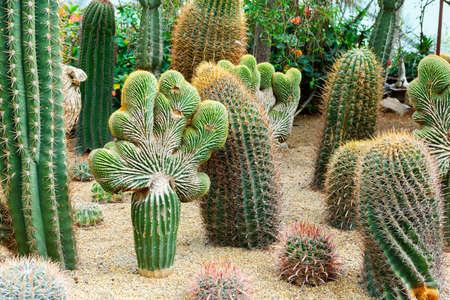 Mexican Fire Barrel Cactus Latin name Ferocactus coloratus