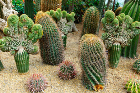 Mexican Fire Barrel Cactus Latin name Ferocactus coloratus 写真素材 - 158701261