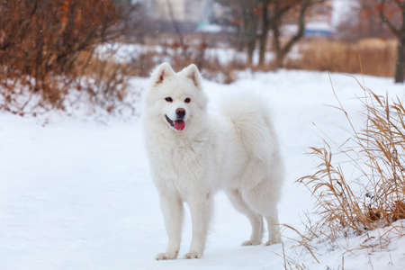White dog Samoyed walks on the background of white snow on a winter day