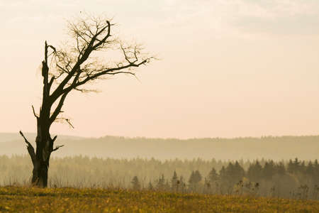 lonely tree: Lonely tree without lives on the forest background