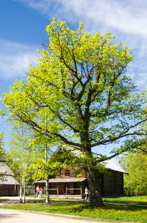 tilia: Green tilia tree in the yard of a wooden house on the blue sky background Stock Photo