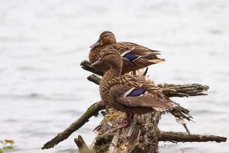 Two ducks sitting on a log near water