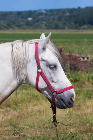 bridle: White horse with red bridle
