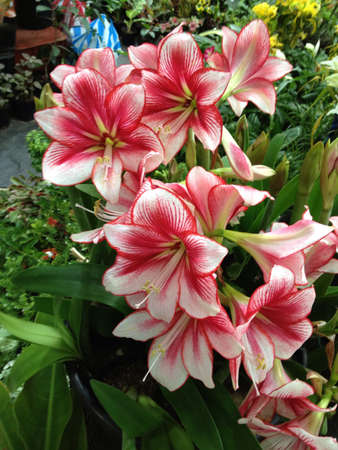 show garden: Red and white lilies during a garden show