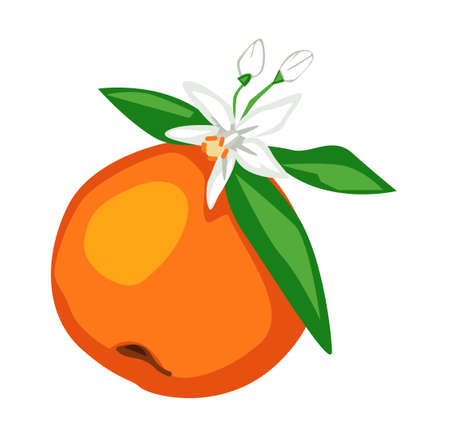 Hand drawn blooming orange Fruits with leaves and flowers Vector.
