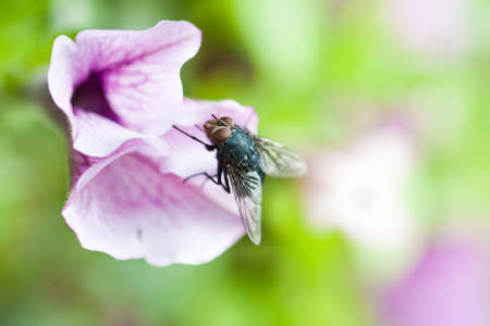 FLy on a pansy photo