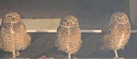 Owl Imagens - 27937126