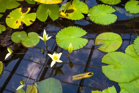 water lilly: white water lily in a pond.  Stock Photo