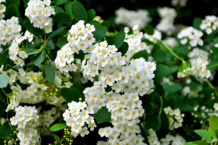 flourished: Closeup view on beautiful fresh spring blooming flower bush white colors with bright green leaves on natural floral background, horizontal picture Stock Photo