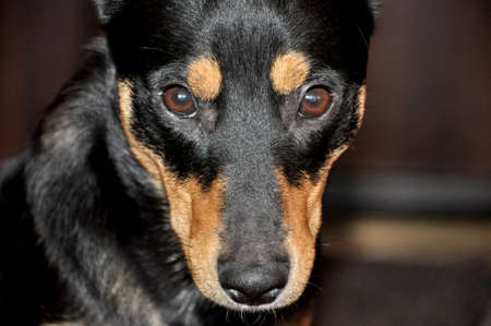 brown and black dog face: Portrait of beautiful cute black and brown dog pet friend  with smart faithful eyes looking forward indoor, horizontal picture