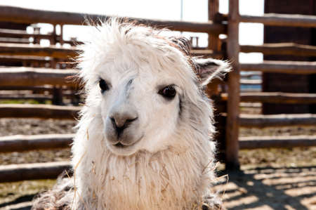 alpaca animal: Portrait of one cute curious wild animal of white alpaca from llama family with  curly fur outdoor sunny day in enclosure