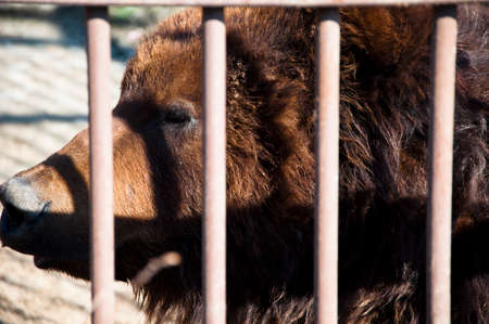 wire netting: Closeup of beautiful big wild forest animal of brown kamchatka bear with lush fur in zoo behind wire netting sunny day outdoor