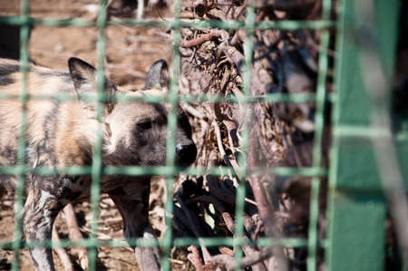 african wild dog: Closeup of one gnawing wooden fence animal of african wild dog with hyena painted fur behind zoo wire netting sunny day outdoor Stock Photo