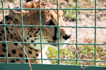 spotted fur: Closeup of one beautiful sorrowful wild african fast animal of cheetah with spotted soft fur lying behind wire netting sunny day outdoor in zoo