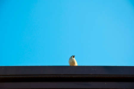 small roof: One small cute attentive bird with white feather sitting on black roof high on blue clear sky background sunny day outdoor, copy space
