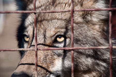 wire netting: Closeup of one attentive wild animal of beautiful grey wolf with yellow eyes looking from wire netting sunny day outdoor