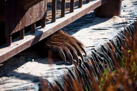 wire netting: Closeup of paw with long sharp claws on parapet of large wild forest animal of brown kamchatka bear with lush fur in zoo behind wire netting sunny day outdoor