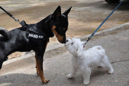 lapdog: Two dogs pinscher and lapdog watching each other head to head.