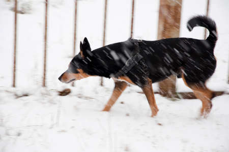 beautiful cute black and brown dog pet friend outdoor in winter standing on white snow at iron fence as blurred or defocused background Stock Photo
